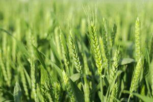 Плевела и пшеница: время покажет, кто есть кто